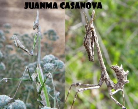 A la  izquierda hembra adulta con alas. A la derecha ninfa sin alas.