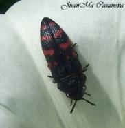Acmaeodera pulchra