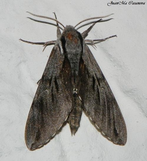 Sphinx maurorum