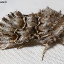 Cleonymia baetica