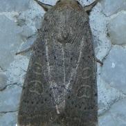 Hoplodrina ambigua