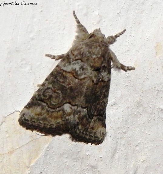 Bryophila vandalusiae