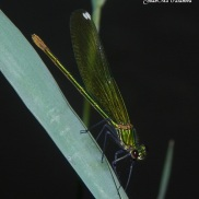 Calopteryx xanthostoma hembra